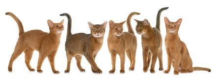 Abyssinische Katzen im Studio Stockbilder