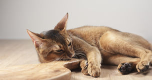 Abyssinische Katzengefühlleidenschaft zum olivgrünen Brett Stockfoto
