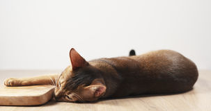 Abyssinische Katzengefühlleidenschaft zum olivgrünen Brett Stockfotografie