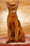 Abyssinische Katzensauerampferfarbe Lizenzfreie Stockfotos