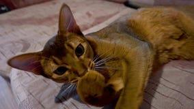 Abyssinische Katzenwäschen stock video