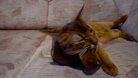 Abyssinische Katzenwäschen und Gähnen stock footage