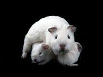 Abyssinische Meerschweinchen Lizenzfreies Stockfoto