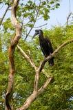 Abyssinischer Boden oder Nordgrundhornbill in Senegal Lizenzfreie Stockbilder