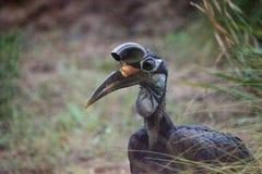 Abyssinischer Grundhornbill, Bucorvus-abyssinicus, Vogel Lizenzfreies Stockfoto