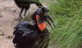 Abyssinischer Grundhornbill, Bucorvus-abyssinicus, Vogel Stockfotografie