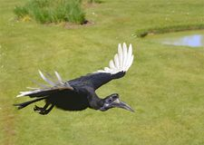 Abyssinischer Grundhornbill im Flug Stockbilder