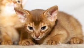 Abyssinisches Kätzchen Stockfoto