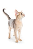 Abyssinisches Kätzchen Lizenzfreie Stockfotos