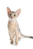 Abyssinisches Kätzchen Stockbilder