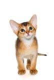 Abyssinisches Kätzchen Lizenzfreie Stockfotografie