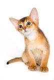 Abyssinisches Kätzchen Lizenzfreie Stockbilder