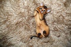Abyssinisches Kätzchen, das auf einer Pelzdecke spielt Lizenzfreies Stockfoto
