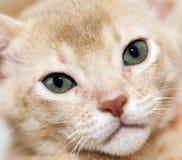 Abyssinisches Kätzchen Farbkitz Lizenzfreie Stockbilder