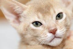 Abyssinisches Kätzchen Farbkitz Lizenzfreie Stockfotografie