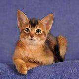 Abyssinisches Kätzchen liyng auf Sofaporträt Lizenzfreie Stockfotografie