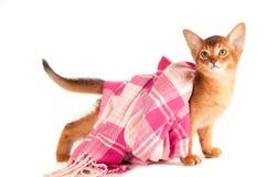 Abyssinisches Kätzchen mit rosa Schal Stockbild