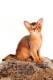 Abyssinisches Kätzchen sitzt auf Kissen Stockbild