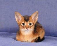 Abyssinisches Kätzchenporträt, das Kamera betrachtet Lizenzfreie Stockbilder