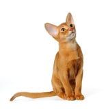 Abyssinisches Kätzchenportrait getrennt auf Weiß Stockbilder
