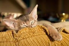 Abyssinisches Kätzchenschlafen Stockbilder
