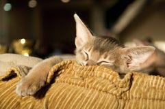Abyssinisches Kätzchenschlafen Lizenzfreie Stockbilder