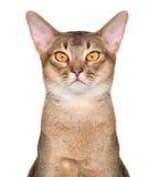 Abyssinisches Katze portait Stockbild