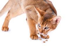 Abyssinisches Katzenfutter Stockfotos