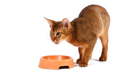 Abyssinisches Katzenfutter Lizenzfreies Stockbild