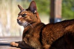 Abyssinisches Katzenlügen Stockfotografie