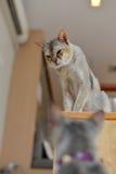 Abyssinisches Katzenschauen Stockfotografie