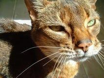 Abyssinisches Katzeportrait Natürlicher Abschluss herauf Detail Lizenzfreies Stockfoto