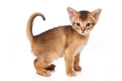 Abyssinisches Kätzchen Stockbild