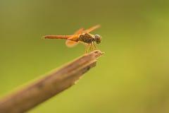 Abzugsgraben-Juwel (thailändische Libelle) Stockfotografie