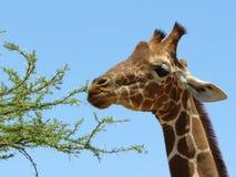 Acácia África do Giraffe do close up Fotos de Stock Royalty Free
