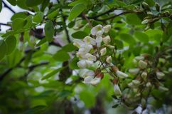 Acácia de florescência da floresta da mola As abelhas estão preparando-se para recolher o néctar para o mel Foco seletivo imagem de stock
