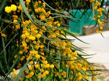 Acácia Dealbata da mimosa Imagens de Stock Royalty Free