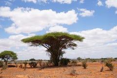 Acácia do guarda-chuva no savana de Tsavo do leste imagem de stock royalty free