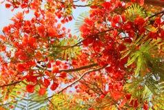 Acácia do vermelho da árvore Imagem de Stock Royalty Free