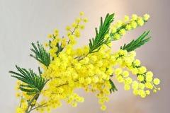 Acácia, Mimosa Imagem de Stock Royalty Free