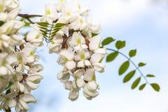 Acácia perfumada da flor no dia de mola Foto de Stock