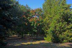 Acácia sul na luz do sol em um parque obscuro foto de stock royalty free