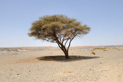 Acácia Umbellate no deserto árabe, Foto de Stock Royalty Free