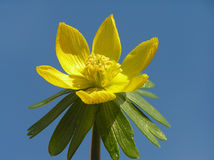 Acónito de inverno amarelo Fotografia de Stock