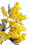 Acacia Royalty Free Stock Photography