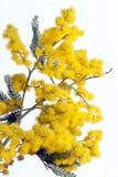 Acacia Fotografía de archivo libre de regalías