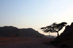 Acacia Image libre de droits
