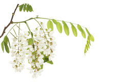 Acacia. Branch acacia with leaves and flowers on white stock images