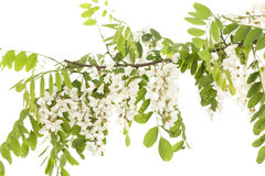 Acacia. Branch acacia with leaves and flowers on white royalty free stock photo