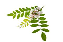Acacia. Leaves and flowers isolated on white royalty free stock image